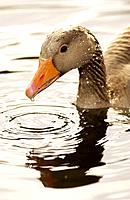 Greylag Goose (Anser anser), Washington Wildfowl and Wetlands Trust, Tyne and Wear, England.