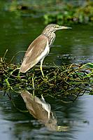 A Chinese Pond Heron