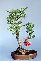A dwarf tree