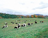 Milk Cow,Vermont,USA