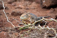 Land Iguana,Conolophus subcristatus,Galapagos Islands,Ecuador,adult,portrait,close up