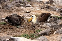 Waved Albatross,Diomedea irrorata,Galapagos Islands,Ecuador,adult with young bird
