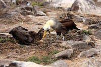 Waved Albatross,Diomedea irrorata,Galapagos Islands,Ecuador,adult with young bird feeding