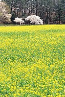Rape Flowers Field,Cherry Blossom,Gyeongju,Gyeongbuk