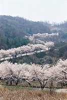 Cherry Blossom,Jecheon,Chungbuk,Korea