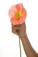 Human hand holding flower on palm, close_up