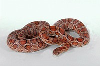 corn snake _ cut out / Pantherophis guttatus restriction: NUR Kornnattern_Ratgeber / ONLY corn snake guidebooks
