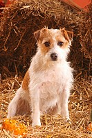 Jack Russell Terrier wire_haired _ sitting in straw