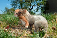 animal friendship: young beech marten and kitten on meadow