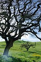A silhouette of an oak tree in a pasture near Gilmore California