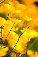 California Poppies in the Sierra foothills near Auburn California