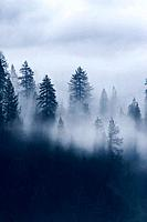 Trees in fog at Donner Lake in California