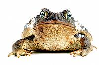 Bufo marinus, giant toad, marine toad, cane toad, South American Neotropical toad