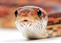 Elaphe guttata, corn snake