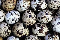 Coturnix coturnix, common quail