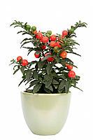 Solanum pseudo-capsicum, Solanum pseudocapsicum, jerusalem cherry