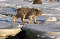Canadian lynx, Lynx canadensis, snow, go
