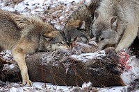 Eastern timber wolves, Canis lupus lycaon, loot, eating