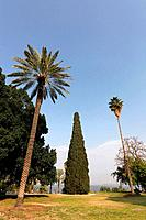 Cypress tree cupresus sempervirens in Kibbutz Degania Aleph by the Sea of Galilee Israel