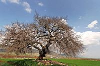 Israel the Lower Galilee Atlantic Pistachio Pistacia Atlantica tree in Beth Natofa valley