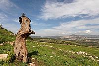 Israel the Lower Galilee The trunk of a Mastic Tree Pistacia Lentiscus in Hurbat Mamlach