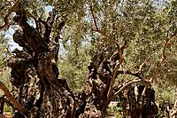 Israel Jerusalem Olive trees in the Garden of Gethsemane