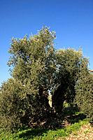 Israel Lower Galilee Ancient Olive tree in Shfaram