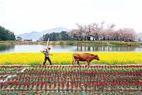 Farmer,Cow,Rape Flowers Field,Tulip,Namhae Island,Gyeongnam,Korea