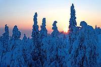 Finland, forest, spruces, snow_covered, sunrise, back light, Scandinavia, Lapland, season, winter, nature, Taiga, trees, conifers, snow, Rukatunturi, ...