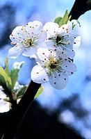 Wild Plum (Prunus domestica)