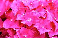 Bigleaf Hydrangea (Hydrangea macrophylla)