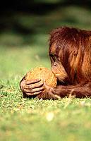 Orangutan (Pongo pygmaeus) with coconut