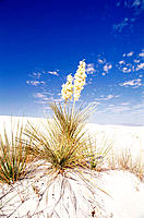 Flower Yuccas, White Sands National Monument. New Mexico. USA