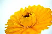 Marigold Calendula hybr