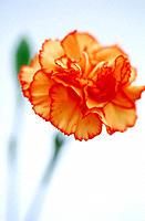 Carnation (Dianthus hybr.)