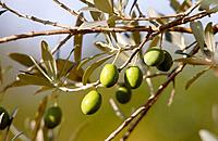 Olives - Tuscany, Italy