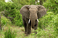 African Elephant - Kruger National Park, South Africa