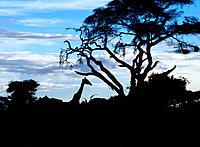 Giraffe. Tanzania
