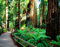Muir Woods National Monument. CA. USA