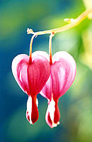 Bleeding Heart flowers (Dicentra spectabilis)