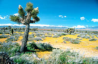 Goldfields, Joshua Trees. Mojave Desert. California. USA
