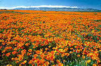 California Poppies. Antelope Valley. California. USA