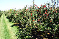 Apples of many varieties are ready for harvest at a Michigan apple orchard