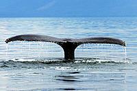 North Pacific Humpback Whale (Megaptera novaeangliae) fluke-up dive in Southeast Alaska, USA
