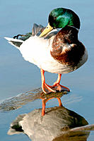 Mallard (Anas platyrhynchos), male duck preening on stone in fresh water lake, Denmark, in spring.