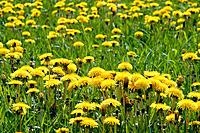 Common Dandelion (Taraxacum vulgare), with yellow flowers in grass field in spring