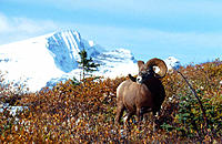 Bighorn sheep (Ovis canadensis). Jasper National Park. Canadian Rockies. Alberta. Canada