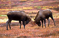 Moose (Alces alces) males looking antlers. Denali National Park. Alaska. USA