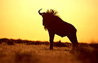 Blue Wildebeest (Connochaetes taurinus), male silhouette. Etosha National Park, Namibia