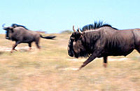 Blue Wildebeest (Connochaetes taurinus), male running in mating season. Etosha National Park, Namibia
